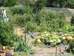 Plants and vegetables growing in a community garden.